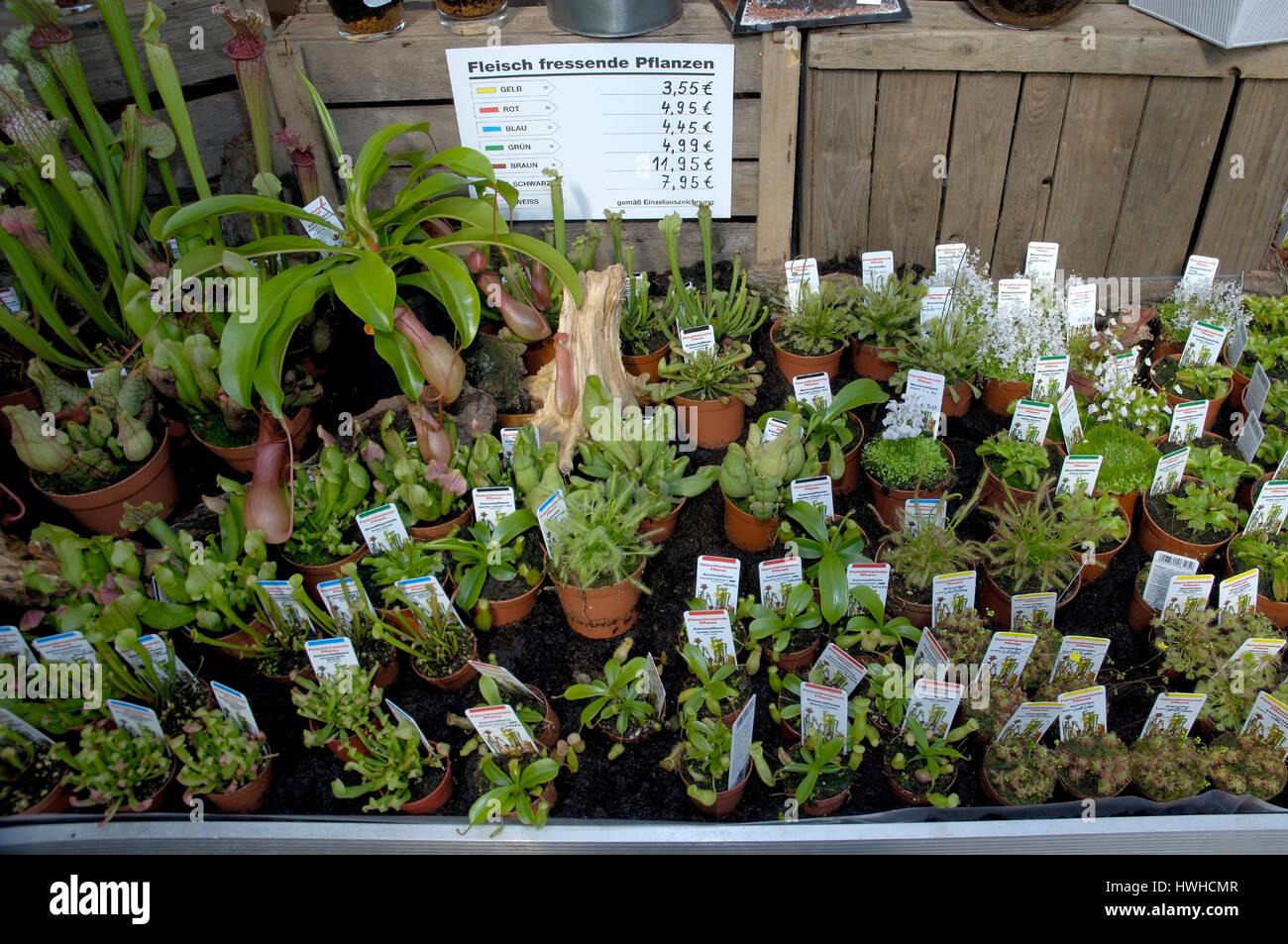 Nursery, garden centre carnivorous plants in a market garden, Nursery | Gartencenter / Fleischfressende Pflanzen - Stock Image