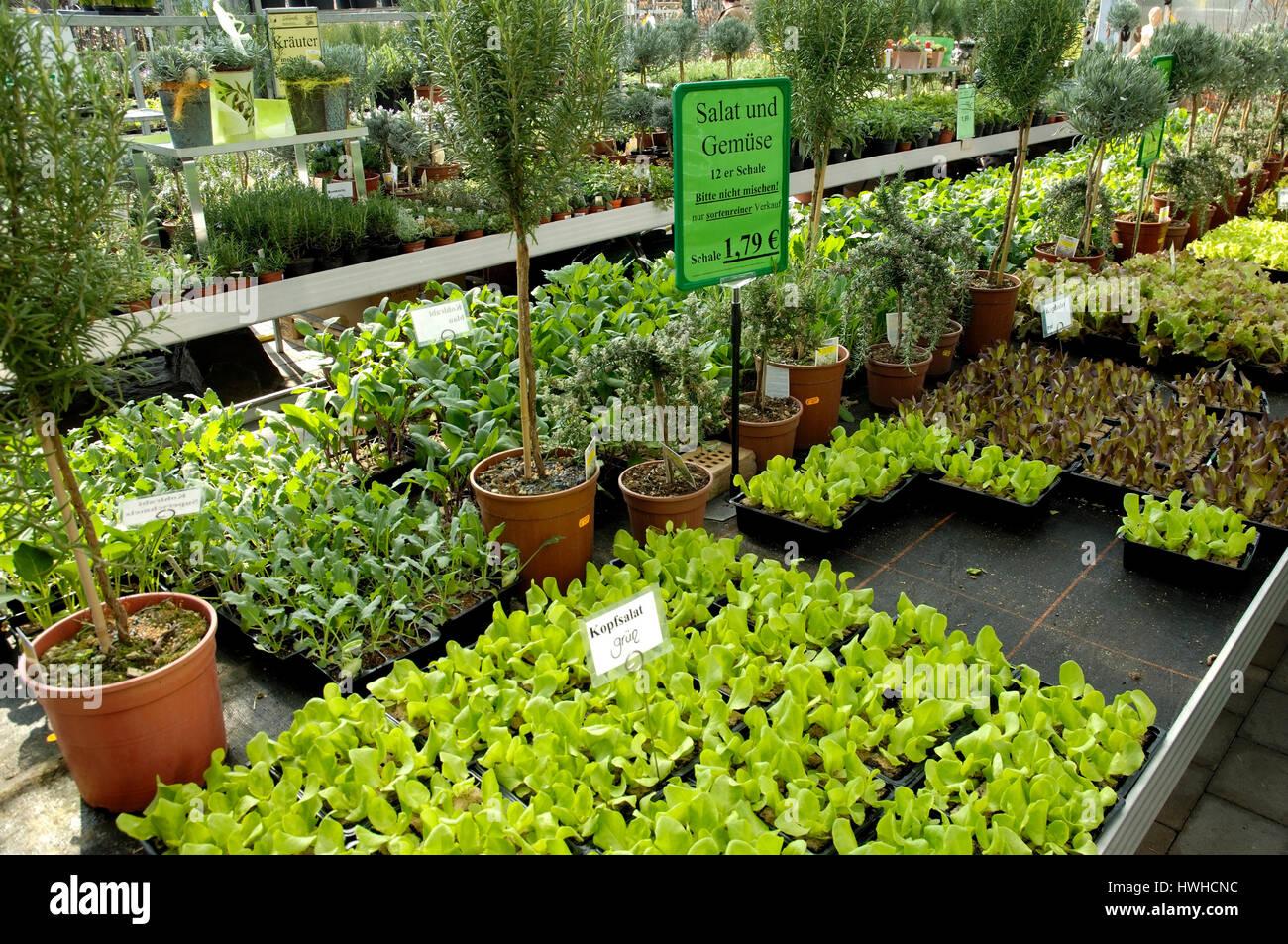 Salad in a plans nursery, salad plants in a market garden, Salad in a plant nursery | Salatpflanzen in einer Gaertnerei - Stock Image