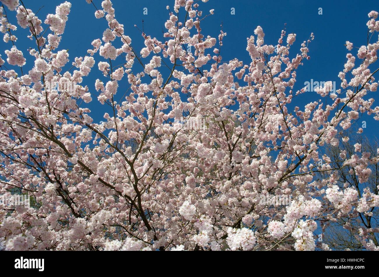 Accolade flowering cherry, Prunus sargentii x subhirtella, Adorning to cherry Accolade, Prunus sargentii x subhirtella - Stock Image