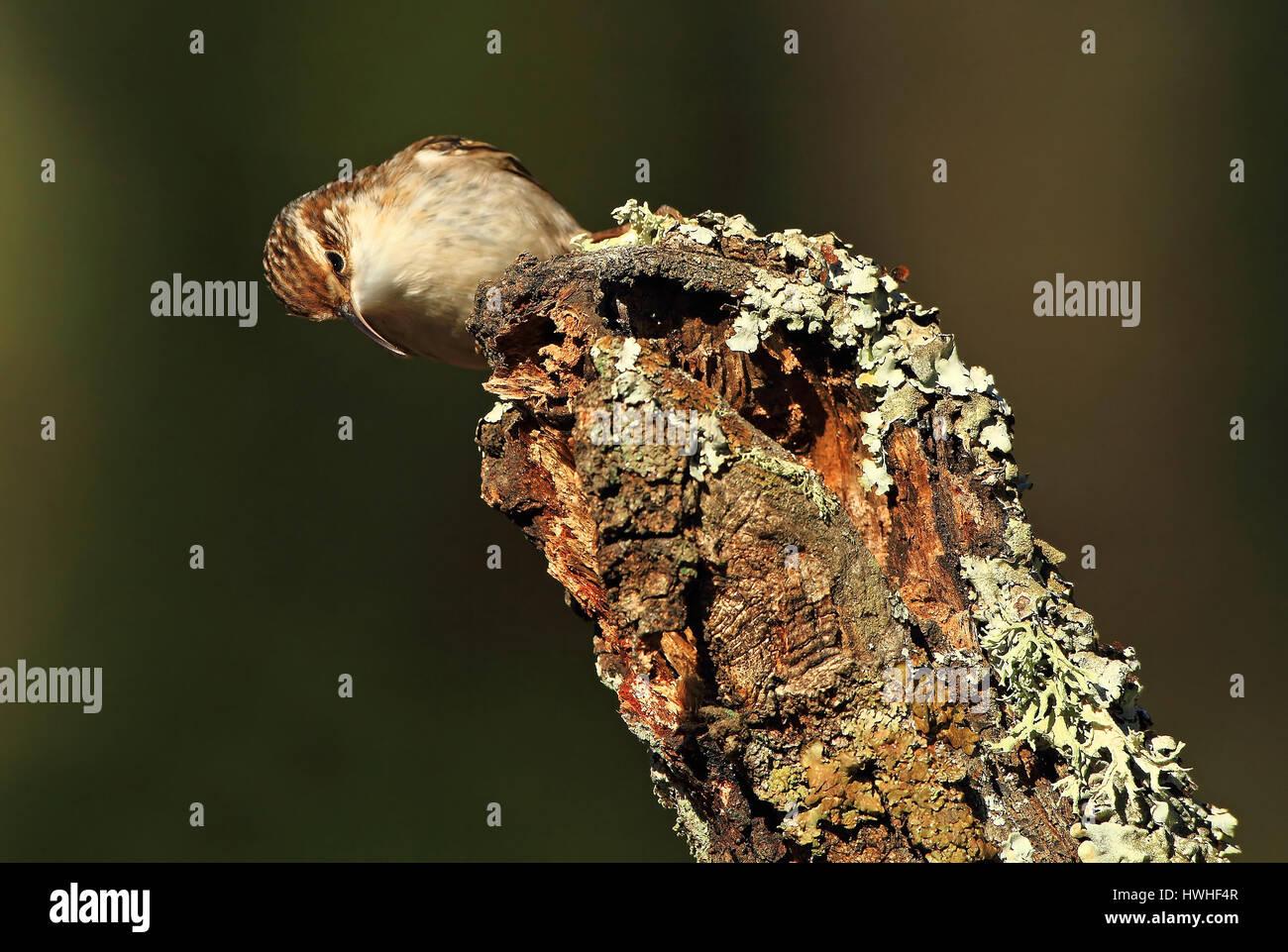 Certhia brachydactyla - Stock Image