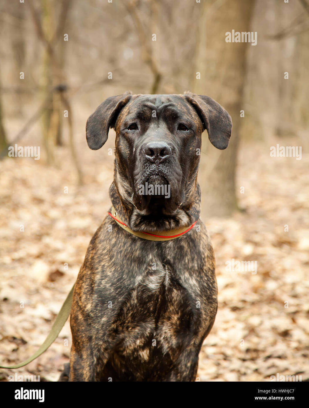 Cane Corso dog portrait close up in autumn forest - Stock Image