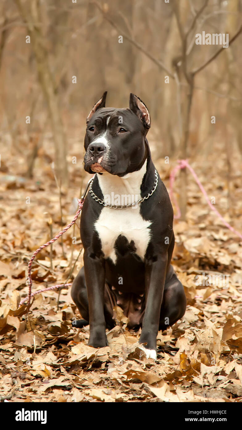 Staffordshire bull terrier sitting in autumn forest close up - Stock Image