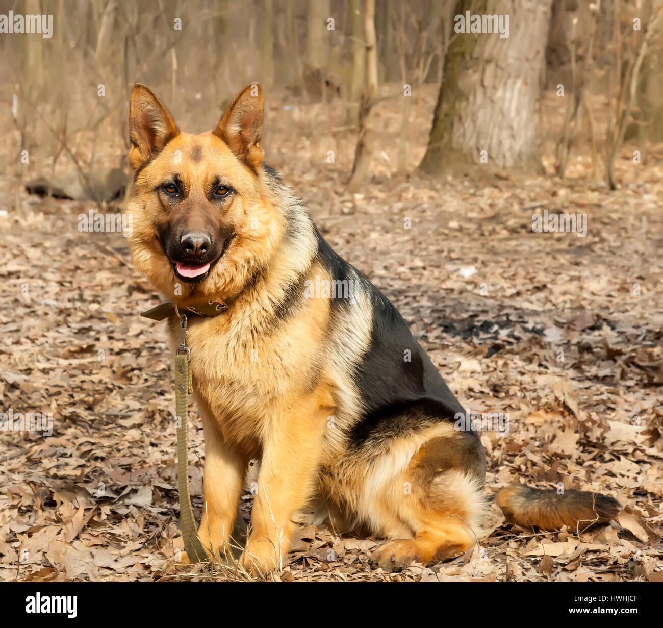German shepherd dog sitting training - Stock Image
