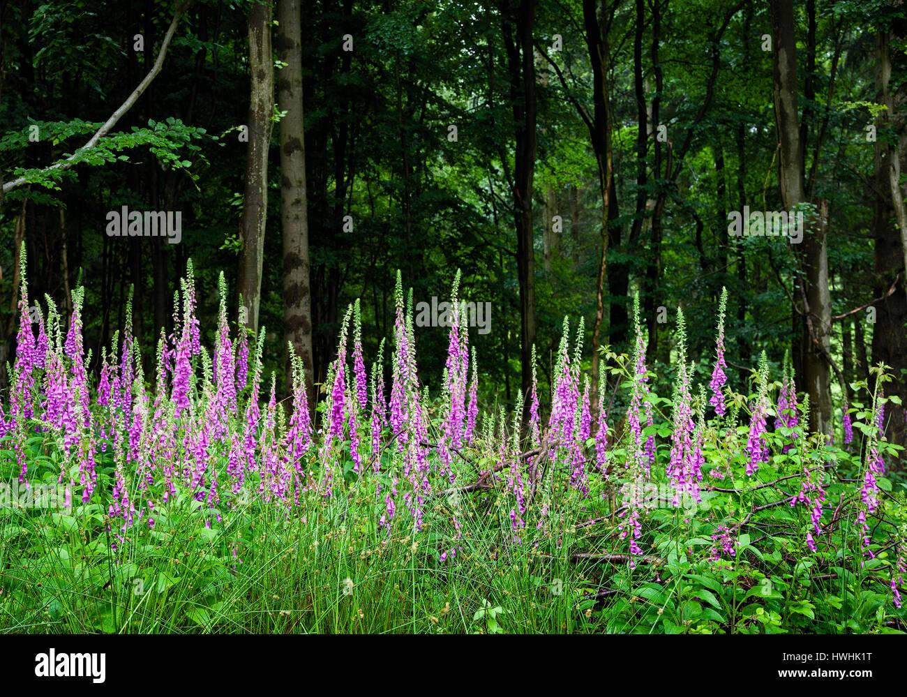 Large stand of foxglove flowers Digitalis purpurea on the edge of a Kent wood UK - Stock Image