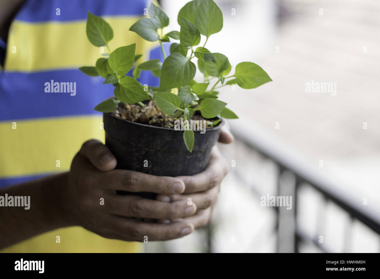 Close up of hands holding a potted plant - Stock Image