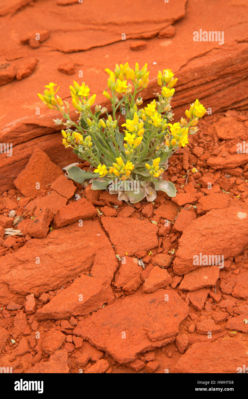 Newberry's twinpod (Physaria newberryi) at Cliffline Viewpoint, Dead Horse Mesa Scenic Byway, Grand County, - Stock Image
