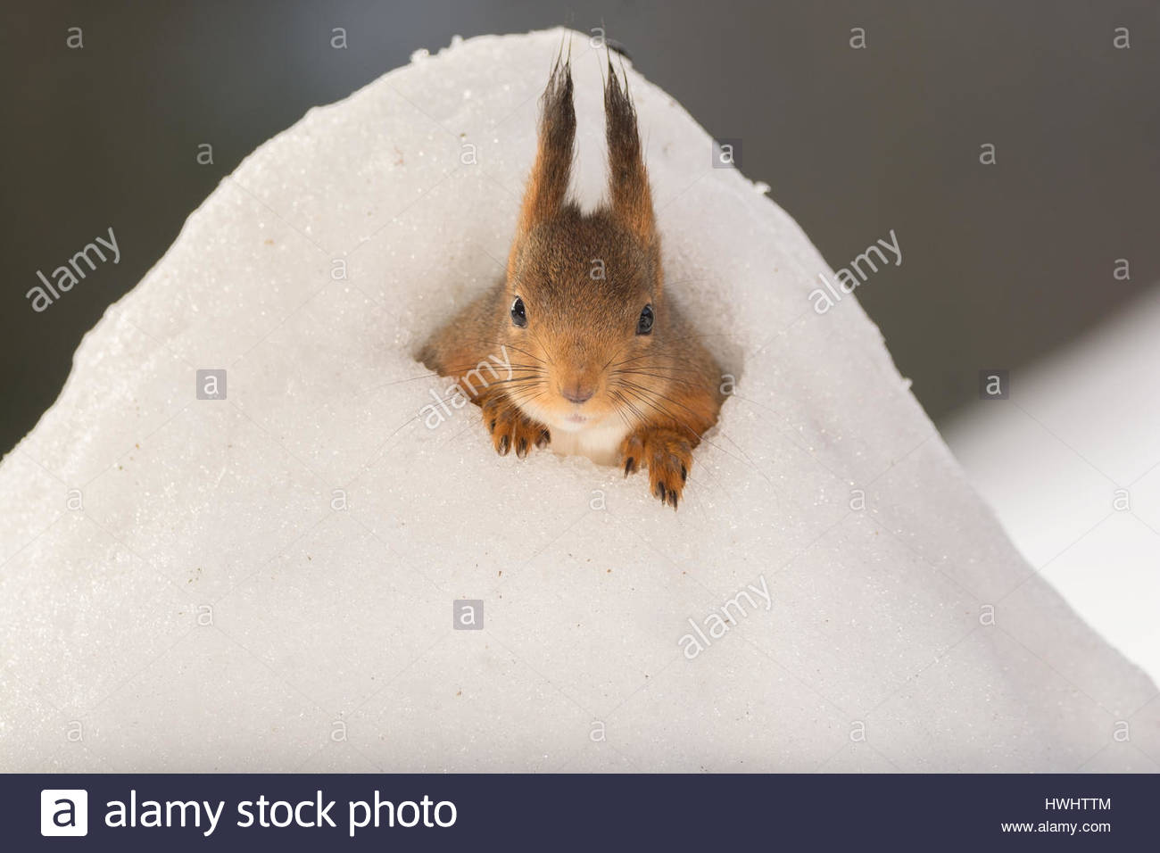 close up of red squirrel standing in a snow hill Stock Photo