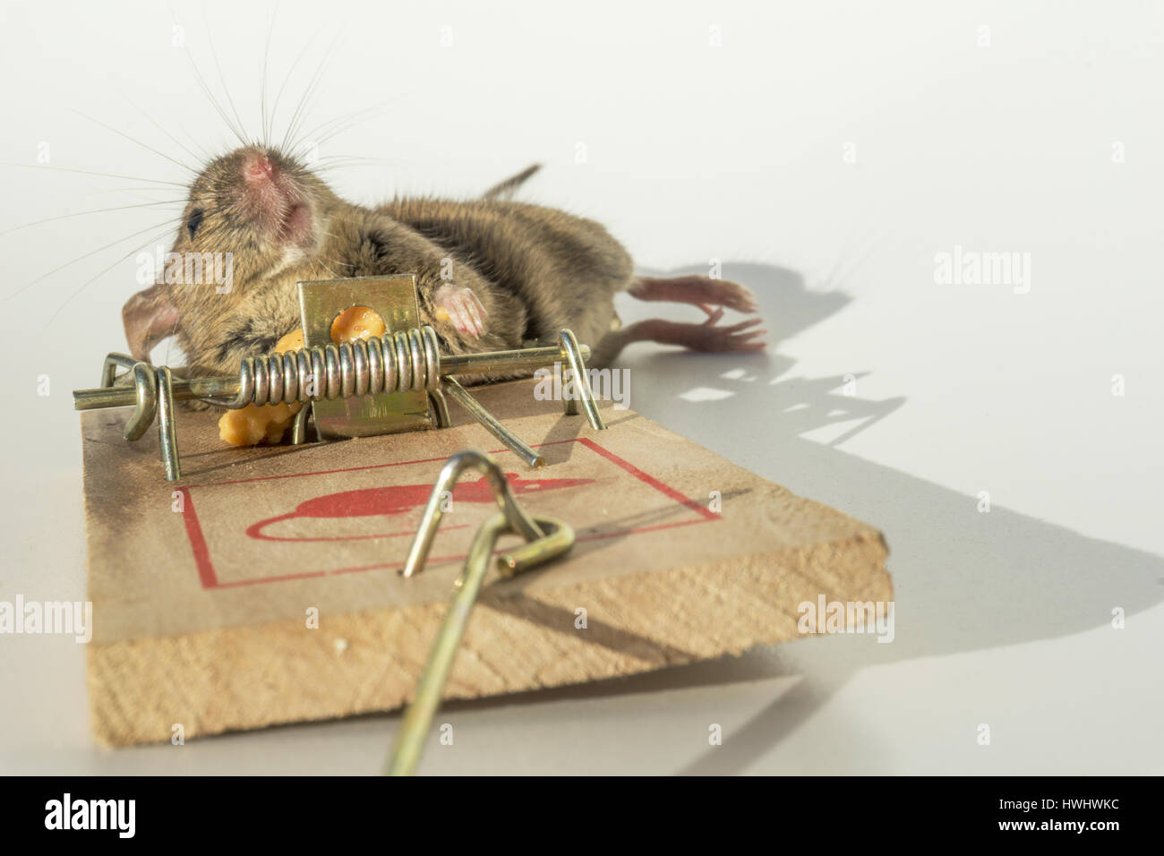Mouse trapped and killed - Stock Image