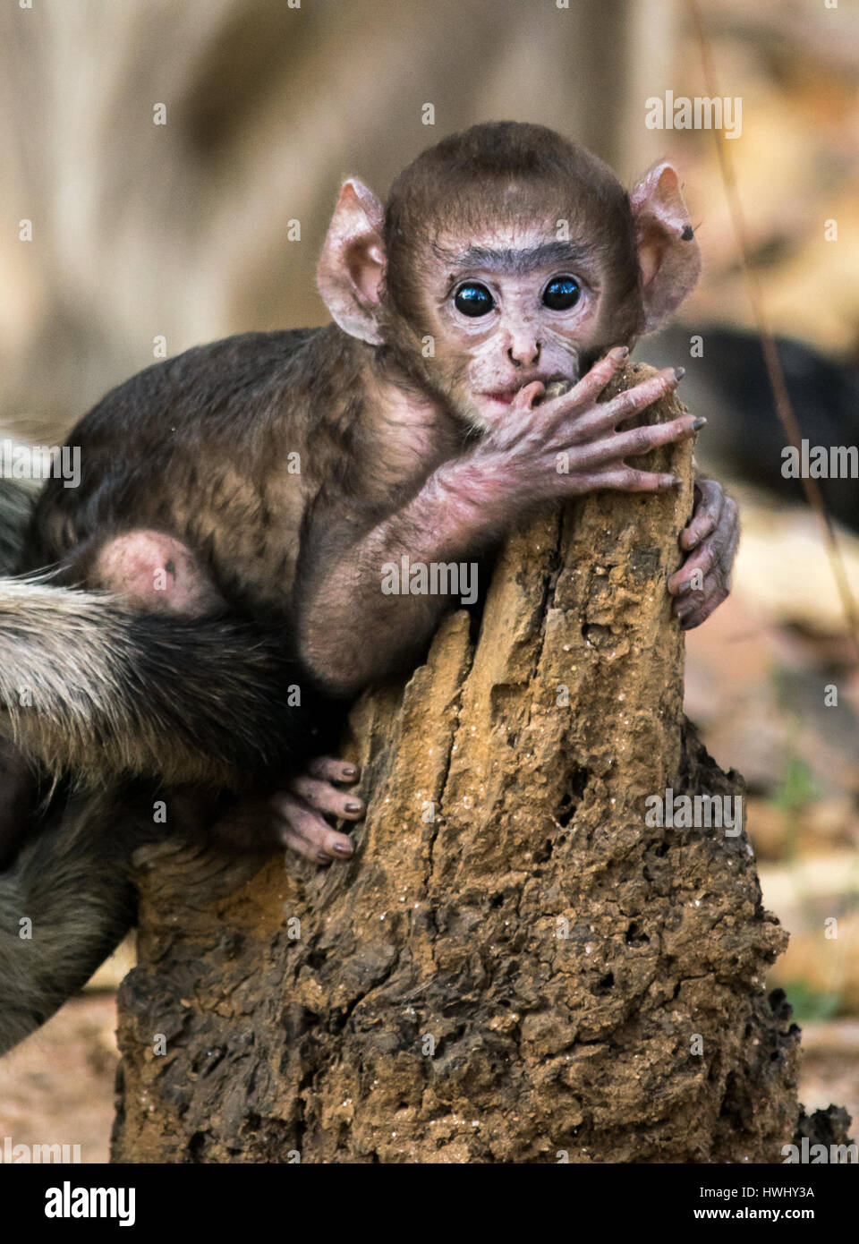 Adorable Baby Monkey - Stock Image