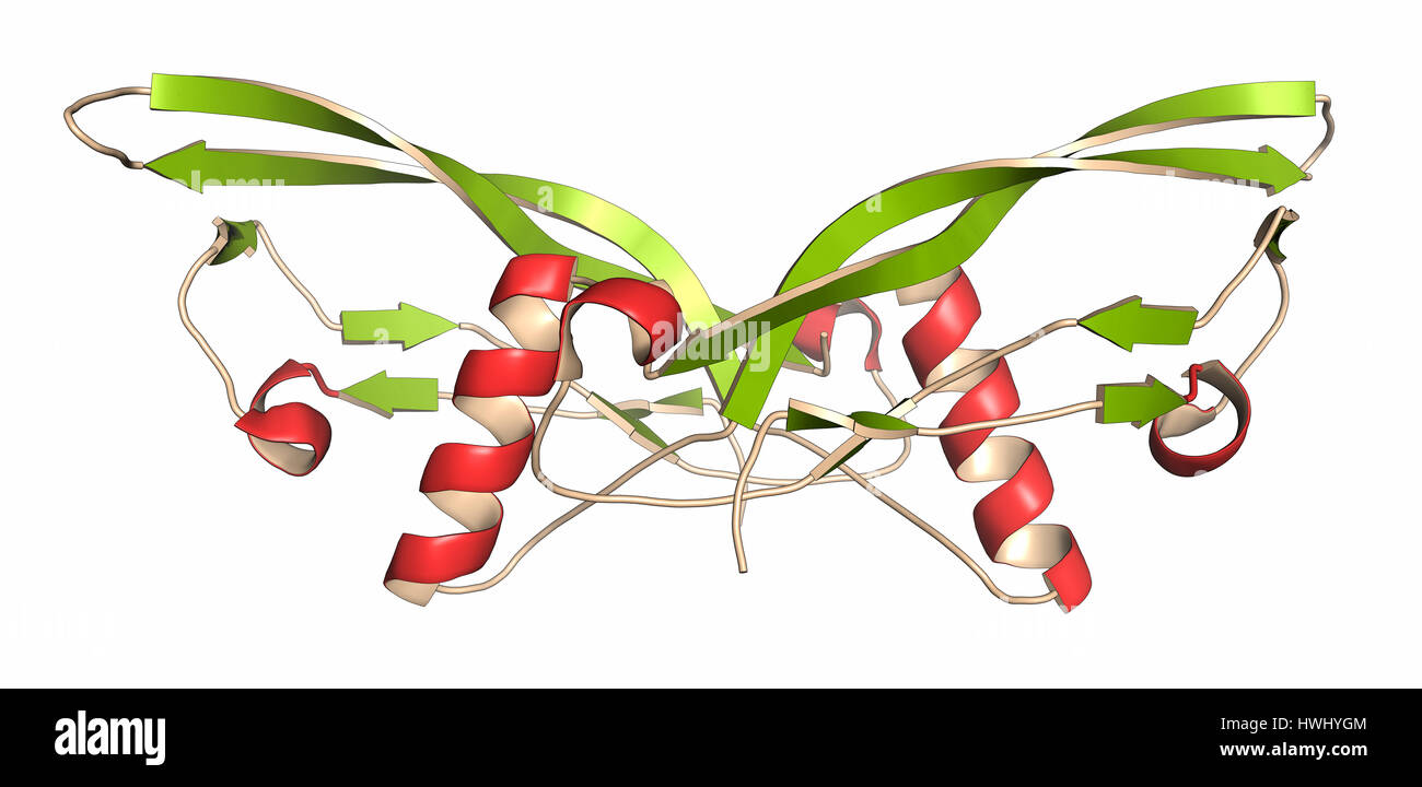 Bone morphogenetic protein 7 (BMP-7) protein. Plays important role in development of bone and cartilage. Cartoon - Stock Image