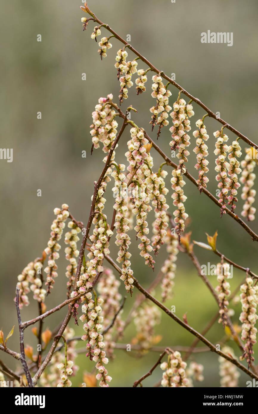 Hanging racemes of red tinged white flowers of the hardy Himalayan shrub, Stachyurus praecox 'Rubriflora' - Stock Image