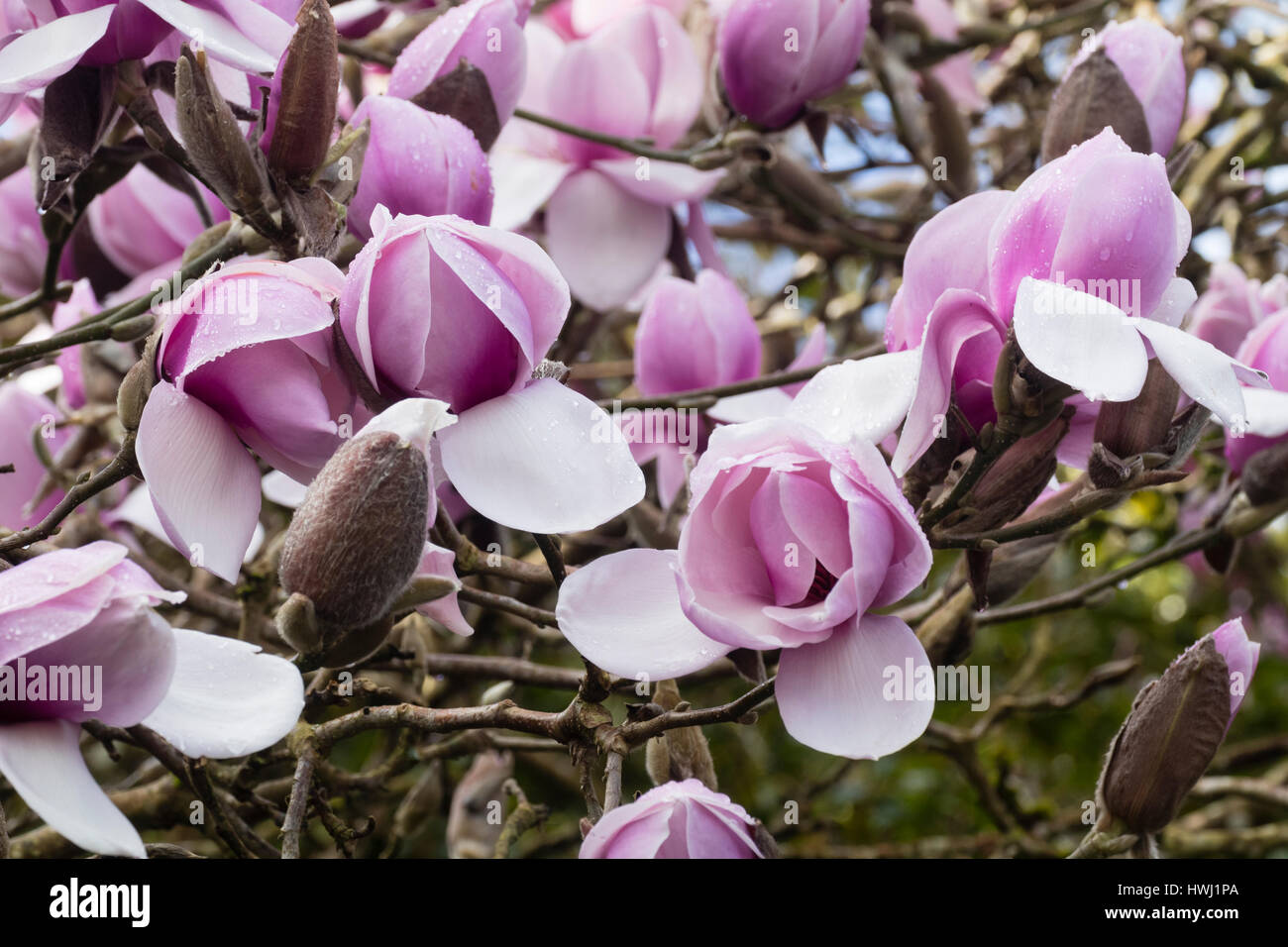 Large Pink Early Spring Flowers Of The Hybrid Tree Stock Photo