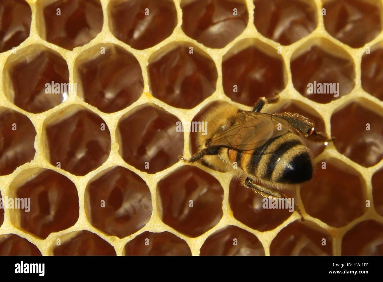 Bees in a beehive on honeycomb - Stock Image