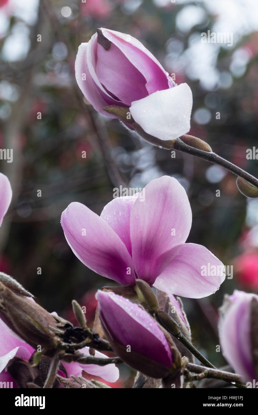 Large pink early spring flowers of the hybrid tree stock photo large pink early spring flowers of the hybrid tree magnoliamagnolia star wars mightylinksfo