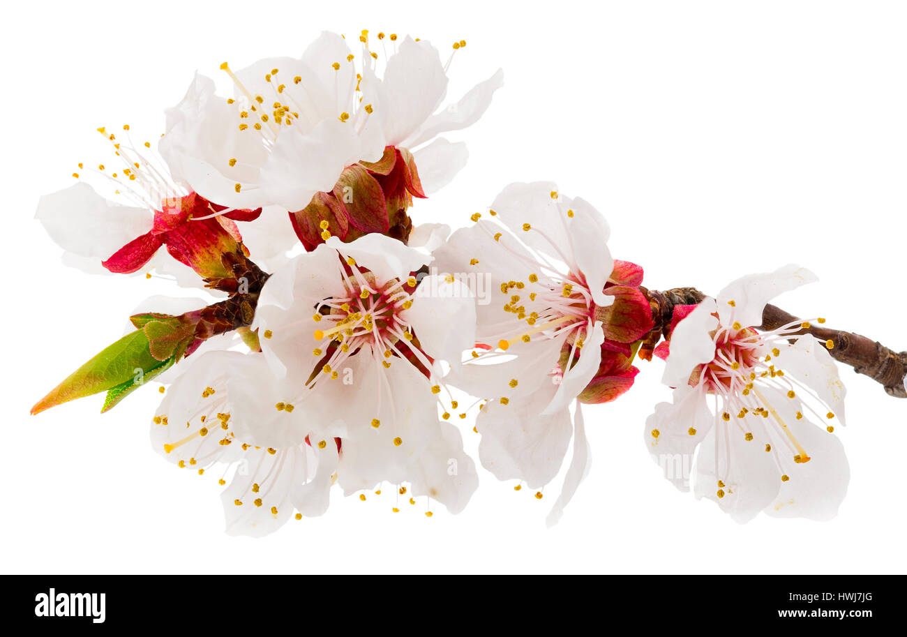 Spring blossoms - fruit-tree flowers isolated on white Stock Photo