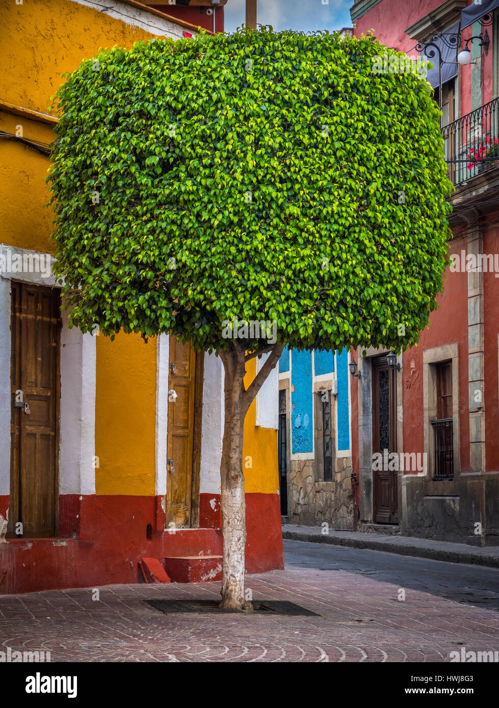 Manicured tree in the historical center of Guanajuato, Mexico ------ Guanajuato is a city and municipality in central - Stock Image
