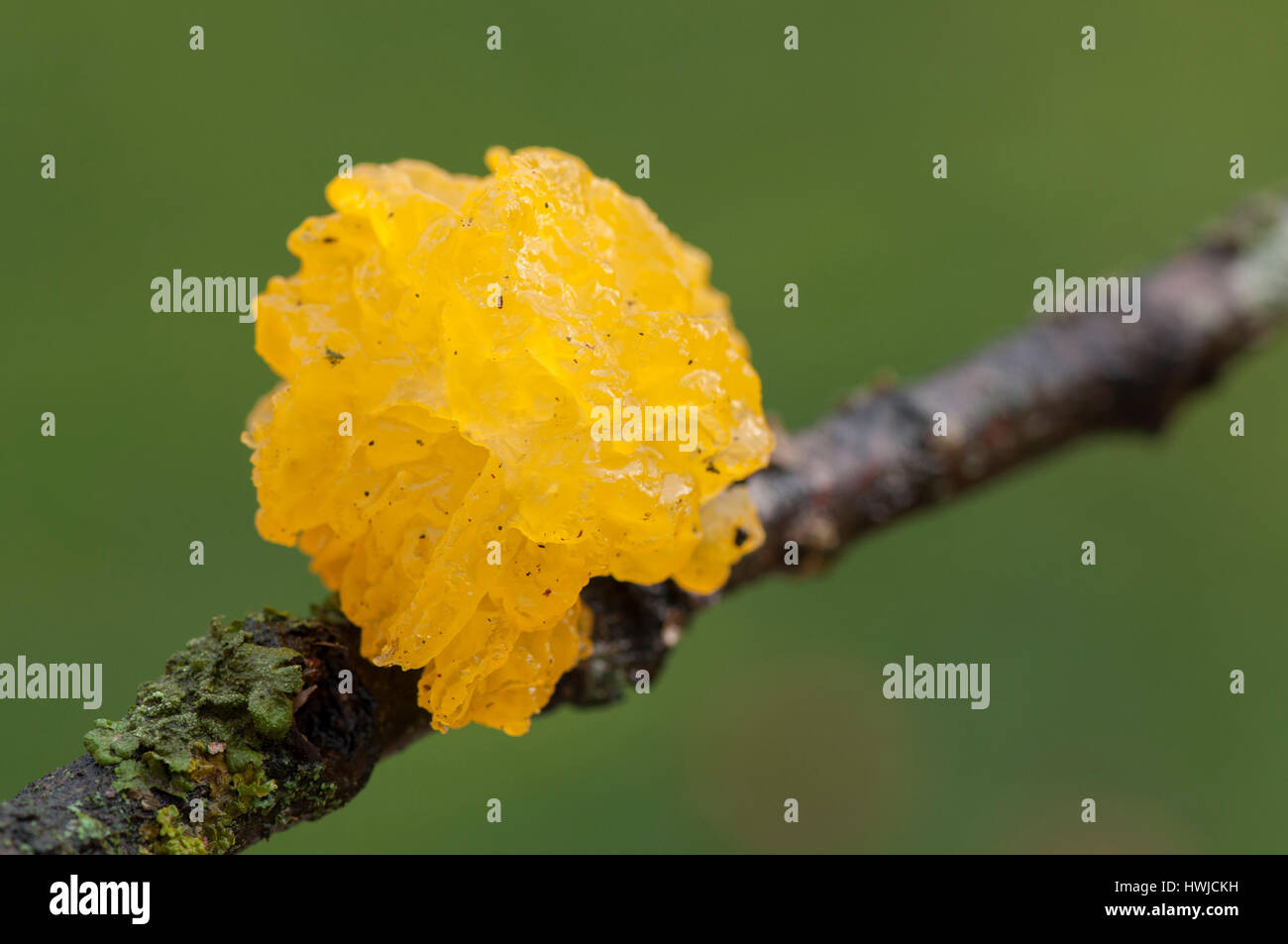 witches butter, Hohenlohe region, Baden-Wuerttemberg, Heilbronn-Franconia, Germany, , Tremella mesenterica, - Stock Image