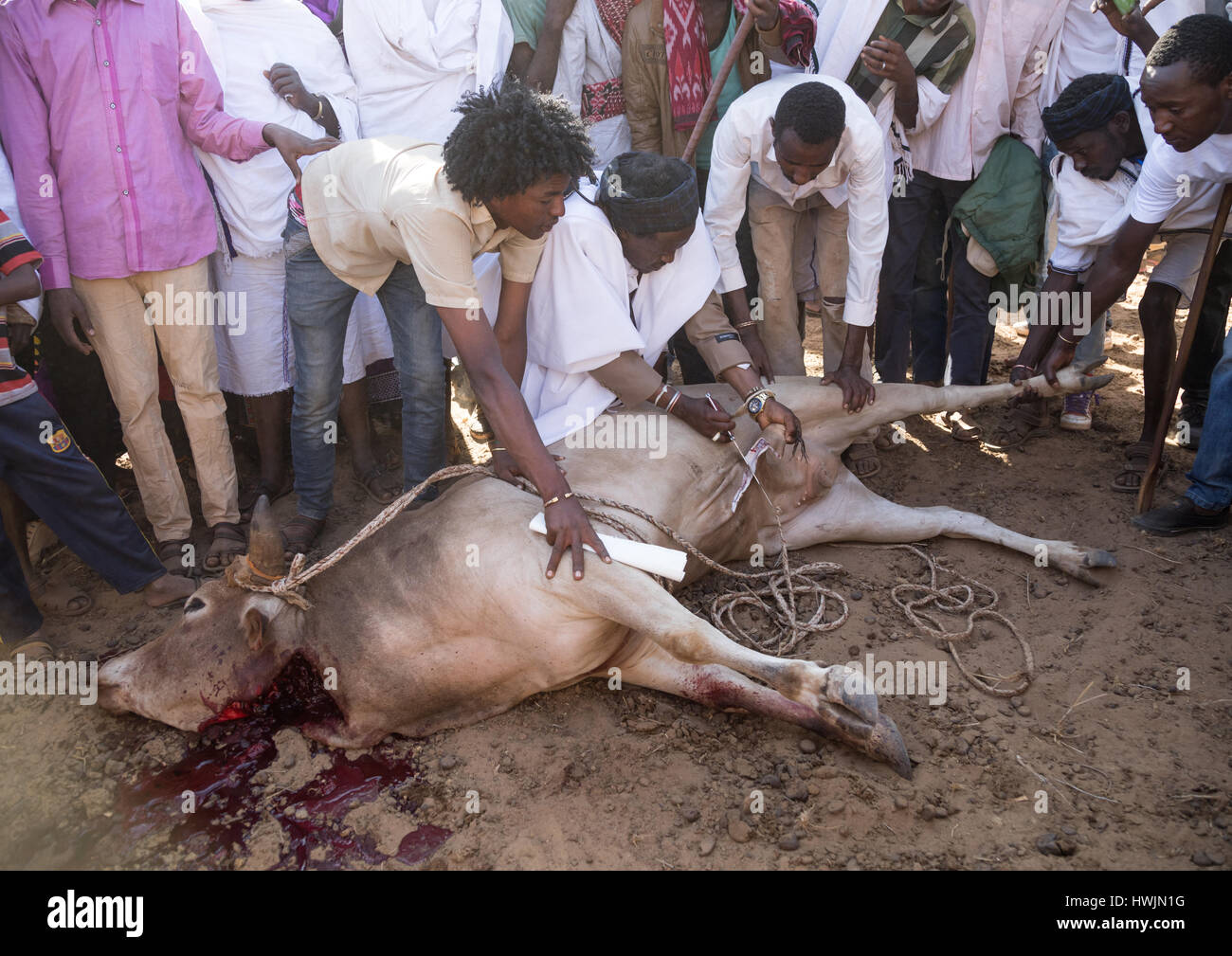 Kura Jarso cutting the genitals of a bull during the Gada system ceremony in Borana tribe, Oromia, Yabelo, Ethiopia - Stock Image