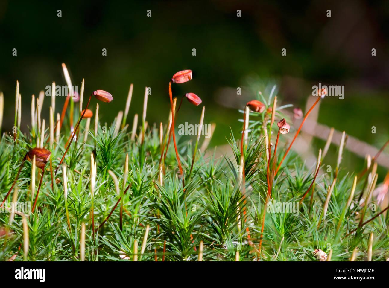 Sporophytes Of Haircap Moss Stock Photo  136252718