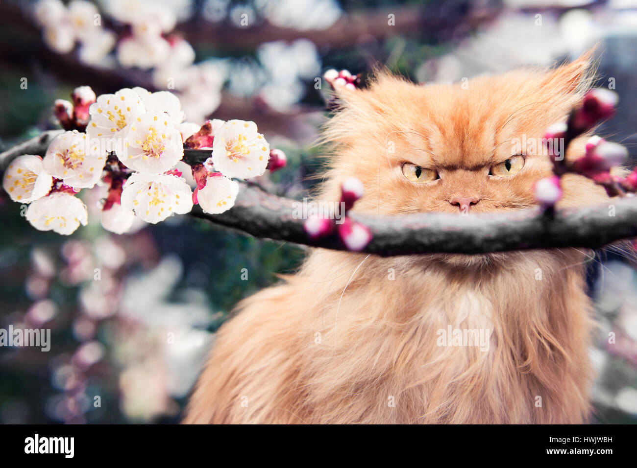 Persian cat with spring blooms - Stock Image