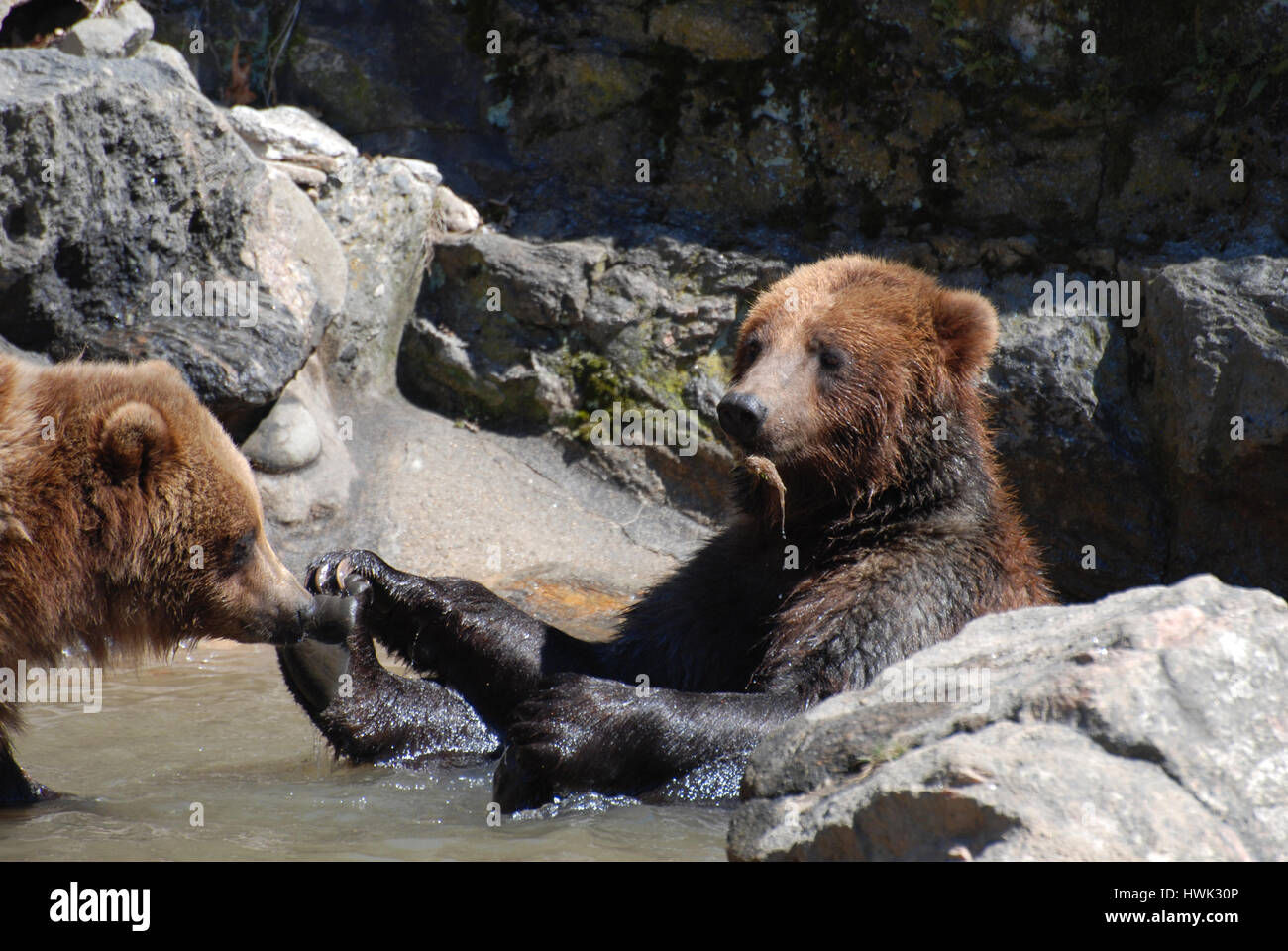 Grizzly bear doing a happy baby yoga pose in shallow water. - Stock Image