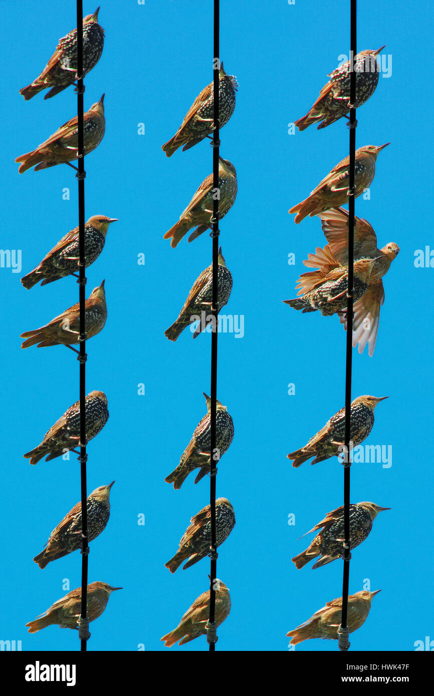 Starlings in different poses seen from below on rows of utility wires Stock Photo