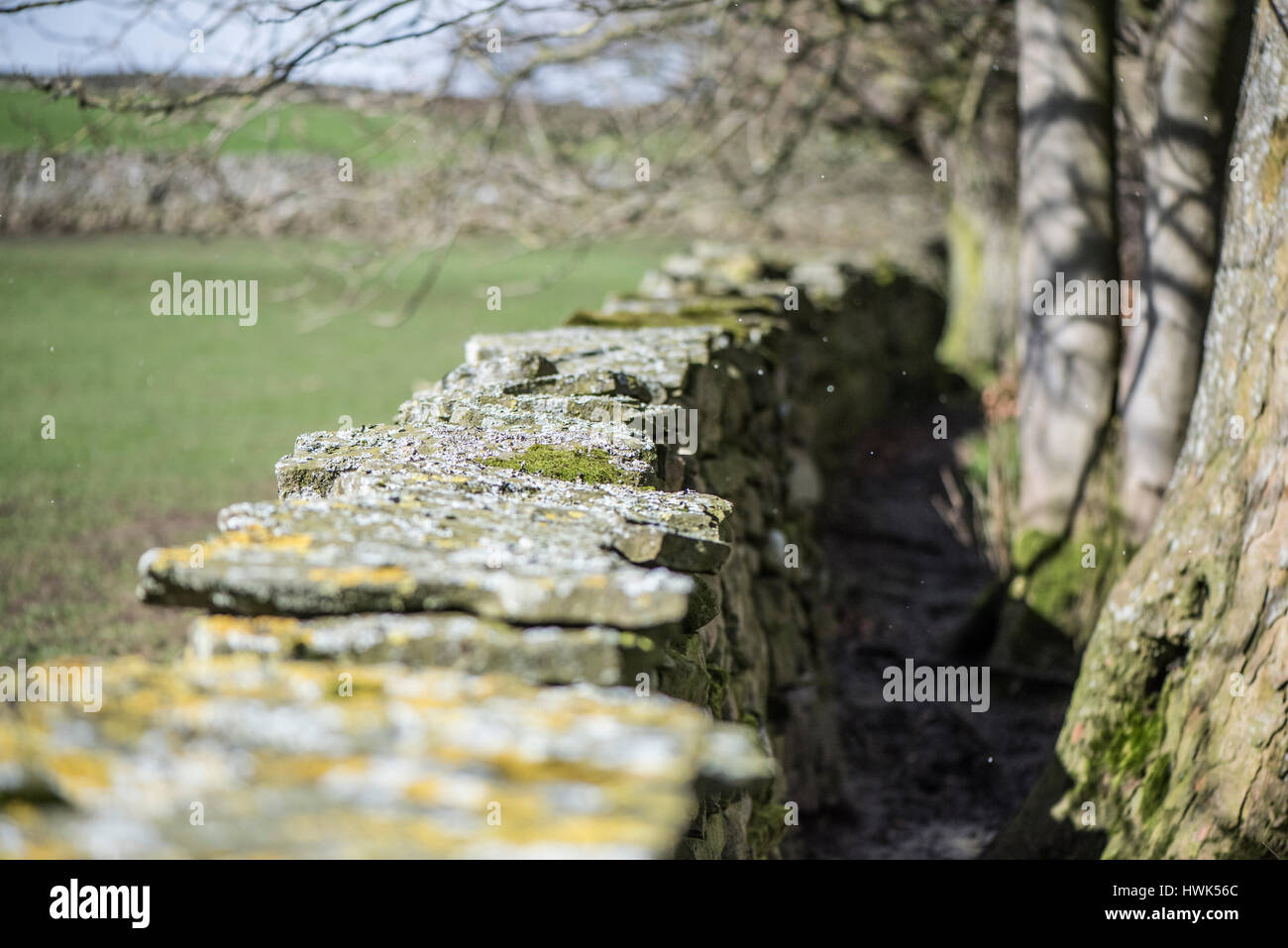 Lichens, an indicator of clean air, on the top of a drystone wall, alongside a beech wood, at Mill Gill, Askrigg, - Stock Image