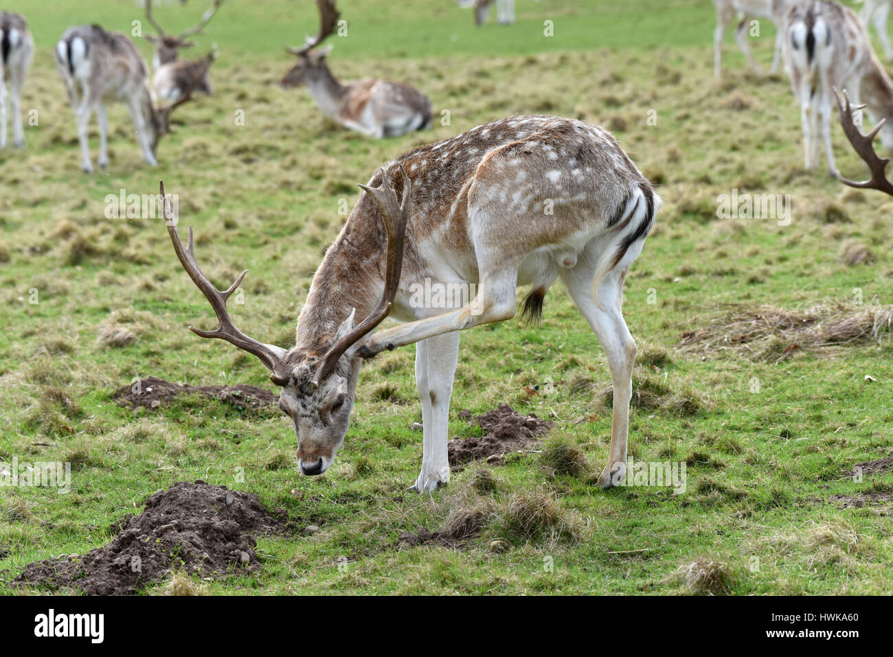 Fallow deer grazing Uk - Stock Image