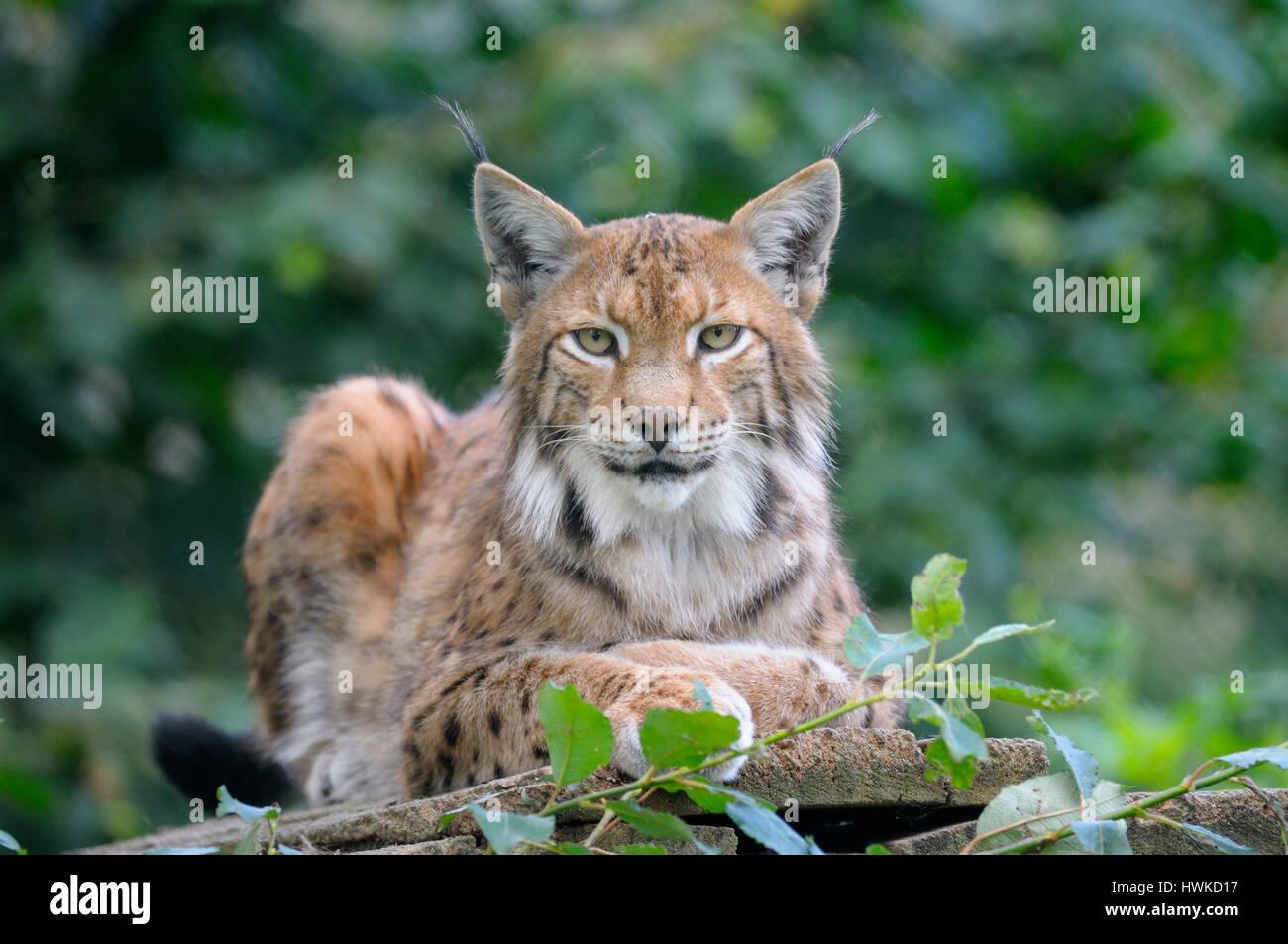 Eurasian lynx, captive, august, Germany, , Lynx lynx, - Stock Image