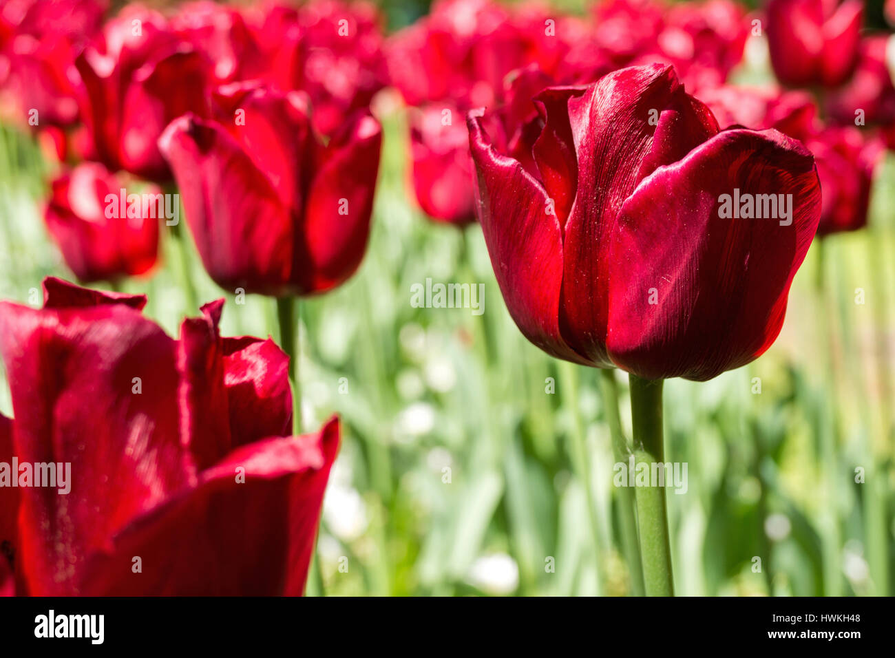 triumph tulip (variety 'Ile de France') - Stock Image