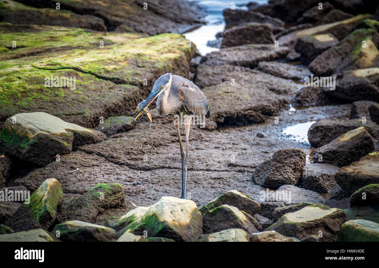 Great Blue Heron catching a Maryland Blue crab on the Chesapeake Bay Stock Photo