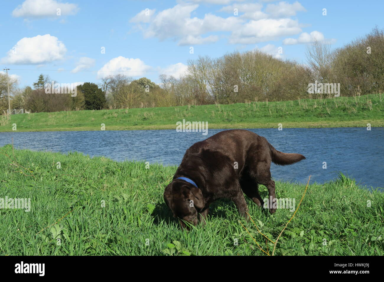 Chocolate Labrador snacking on grass on a riverbank - Stock Image