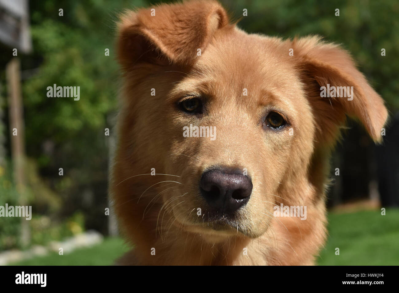 Very cute toller puppy with his head cocked. - Stock Image