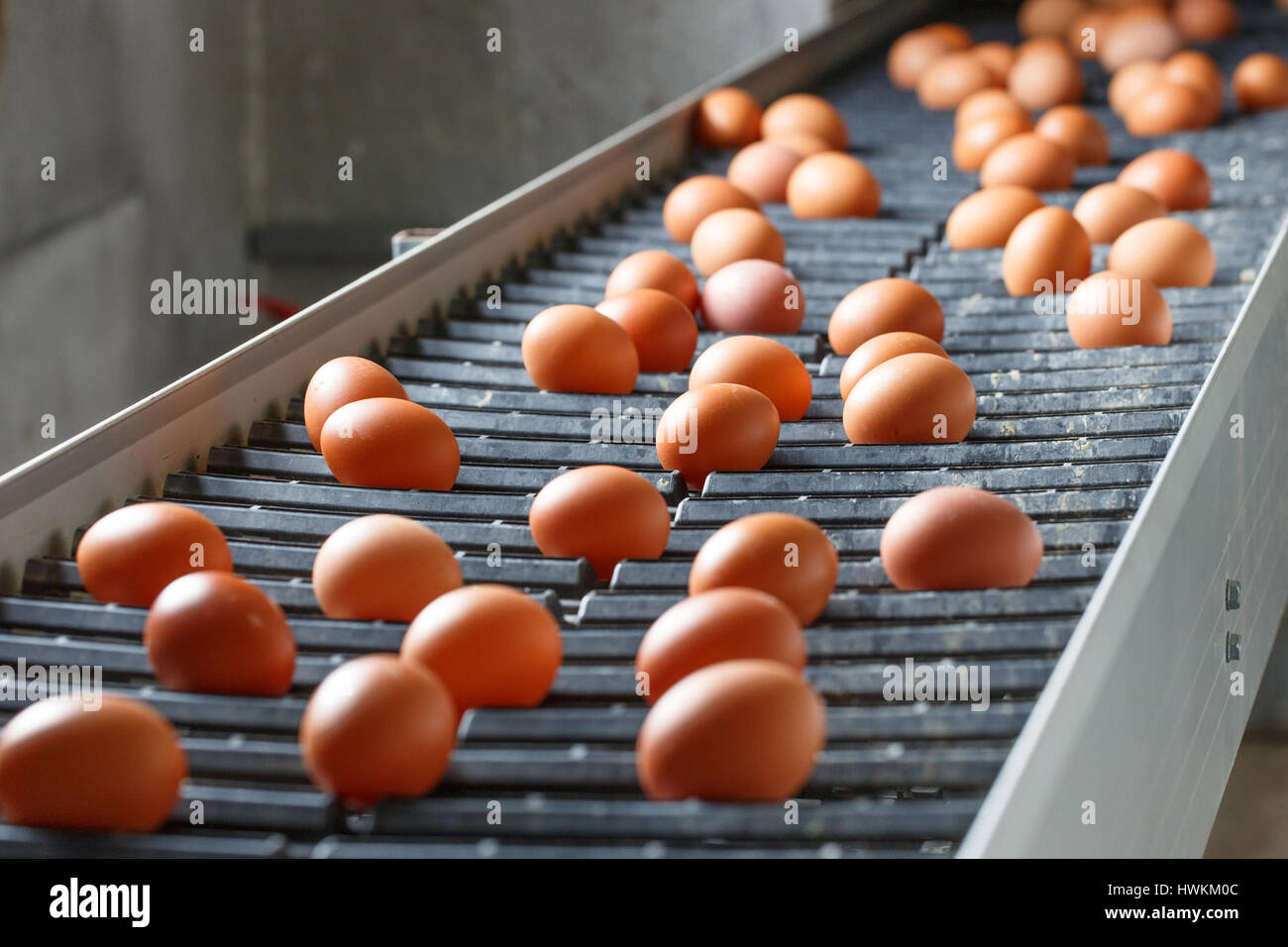 Fresh and raw chicken eggs on a conveyor belt, being moved to the packing house. Consumerism, egg production, automated - Stock Image