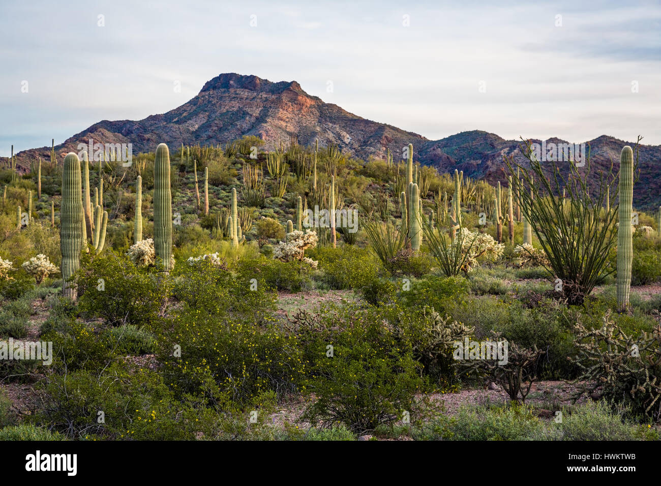 The morning dawns over the Sonoran Desert in Organ Pipe National Monument. - Stock Image