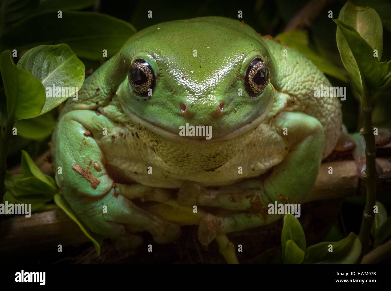 Green Tree Frog (Litoria caerulea) - Stock Image