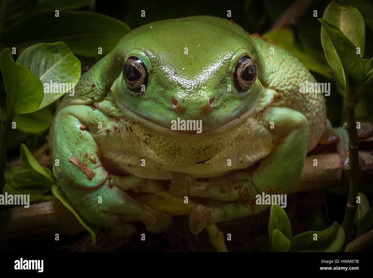 Green Tree Frog (Litoria caerulea) Stock Photo