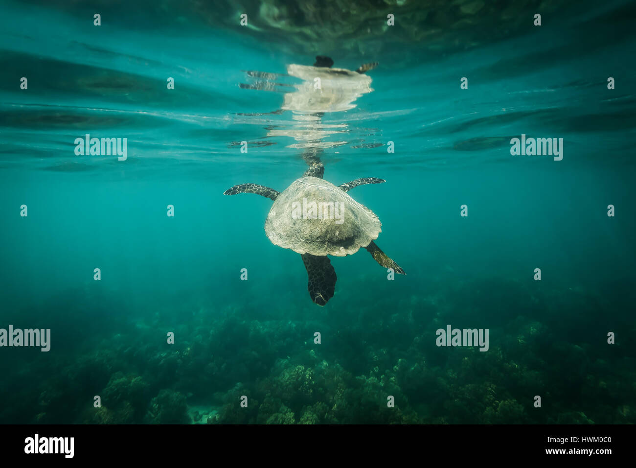 Hawksbill Turtle (Eretmochelys imbricata) Stock Photo