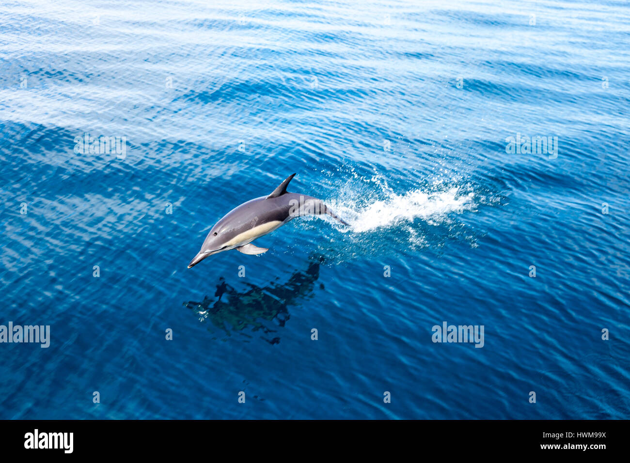 Bottlenose dolphin jumping out of the water in Hauraki Gulf Marine Park, New Zealand - Stock Image