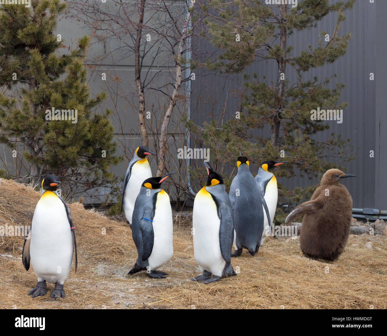 King penguins waiting for their daily walk around the Calgary zoo. Edward, the zoo's 7 month old chick, is named - Stock Image