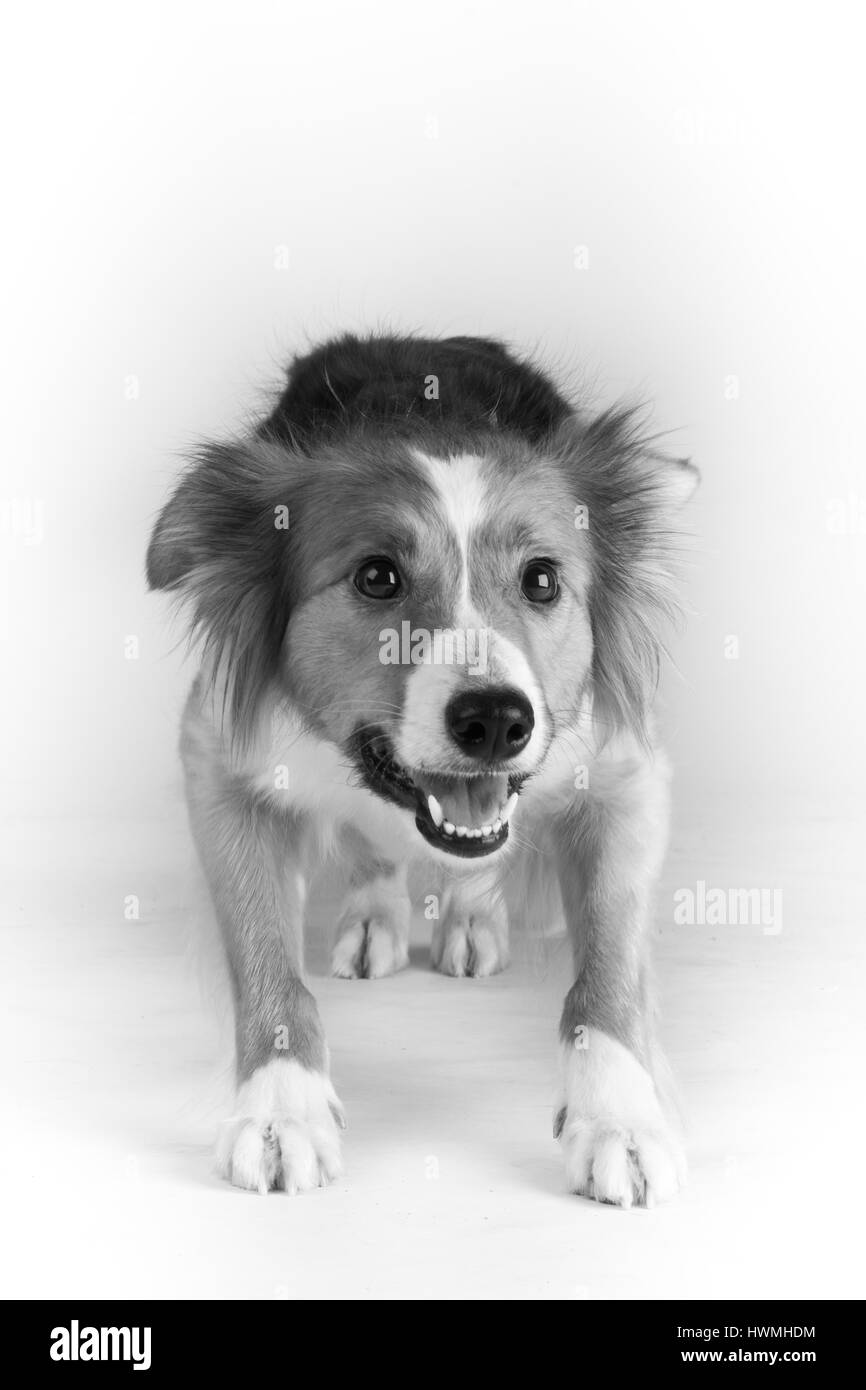 One Beautiful Border Collie Stock Photo