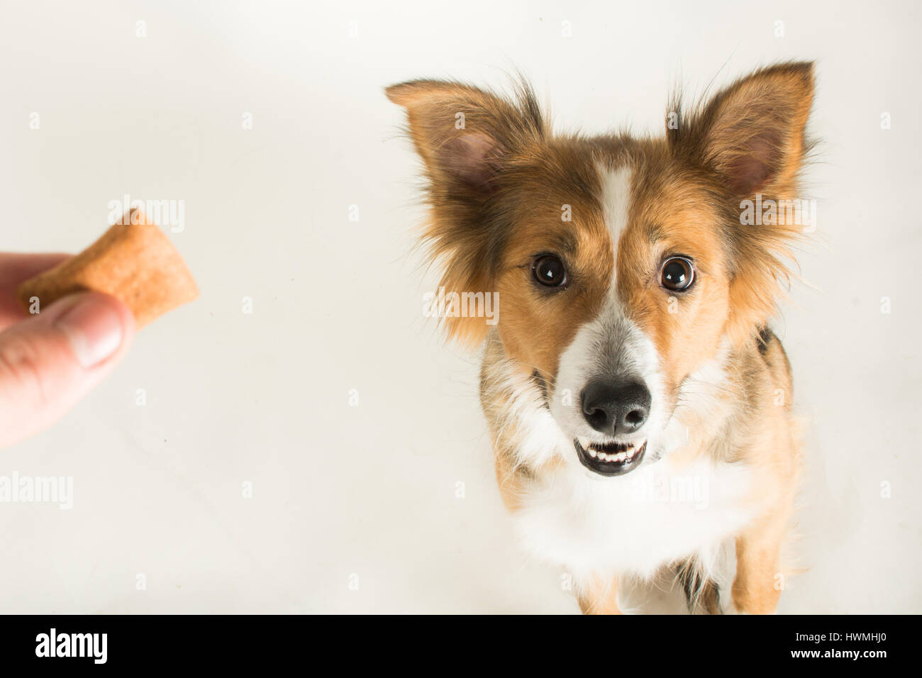 One Beautiful Border Collie - Stock Image