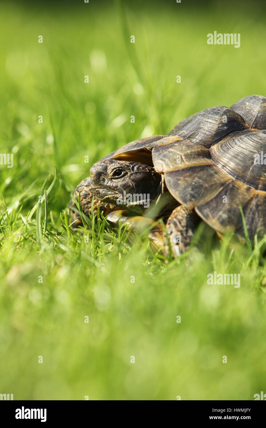 spur-thighed tortoise - Stock Image
