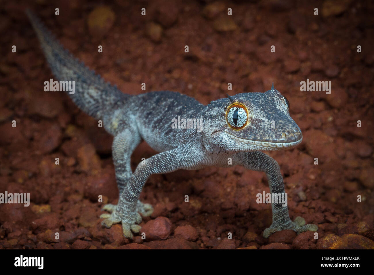 Northern Spiny-tailed Gecko (Strophurus ciliaris) - Stock Image