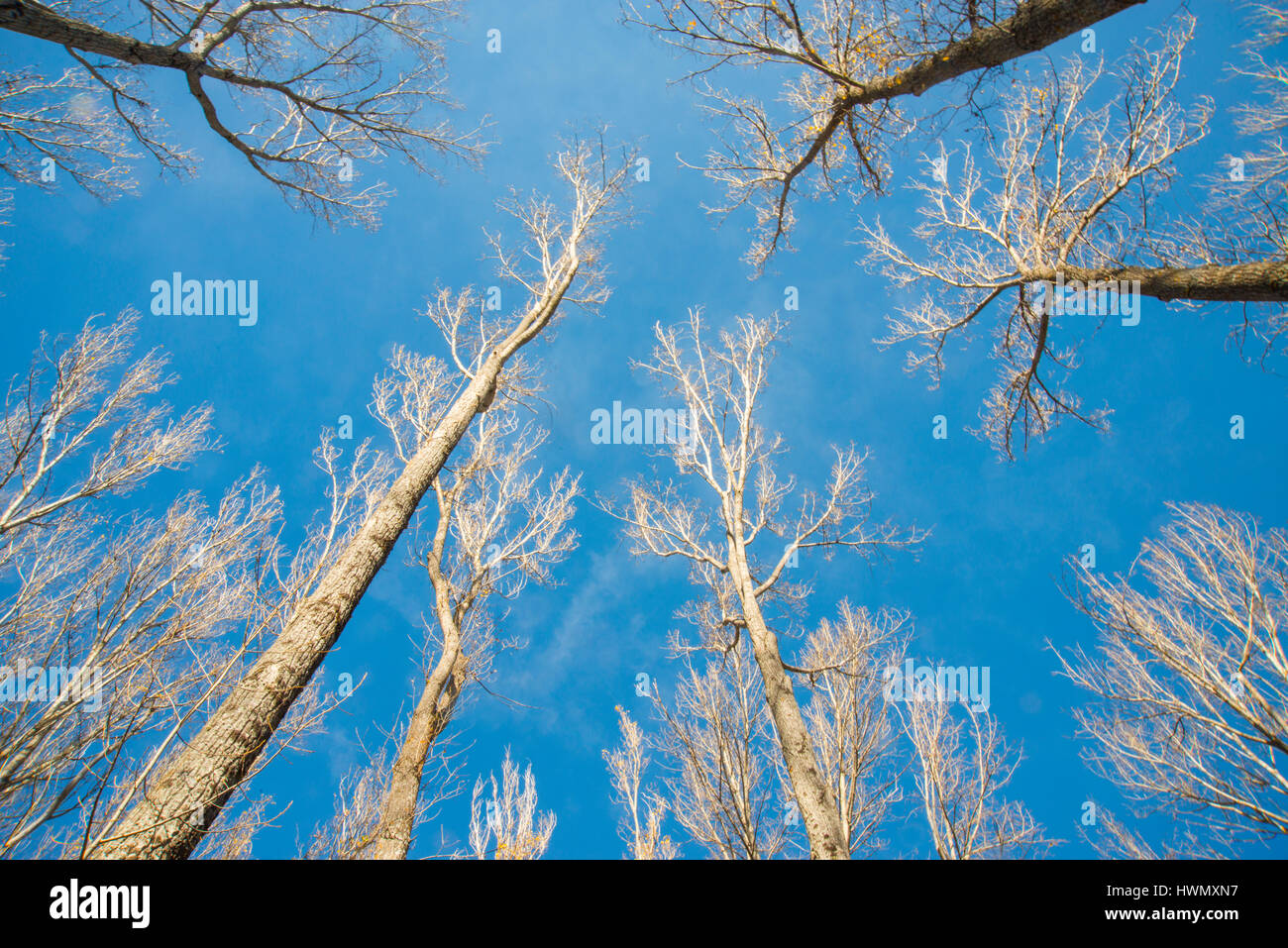 Tree trunks in winter. View from below. - Stock Image