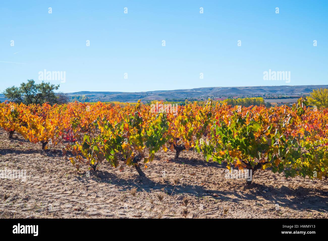Vineyards. Ribera del Duero, Burgos province, Castilla Leon, Spain. - Stock Image