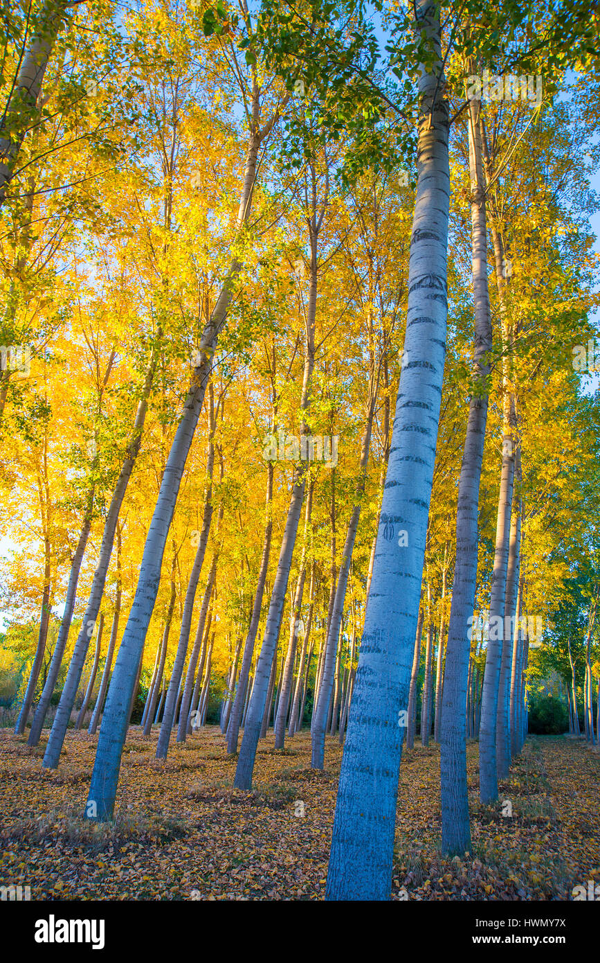 Poplar trees forest in Autumn. Castillejo de Mesleon, Segovia province, Castilla Leon, Spain. - Stock Image