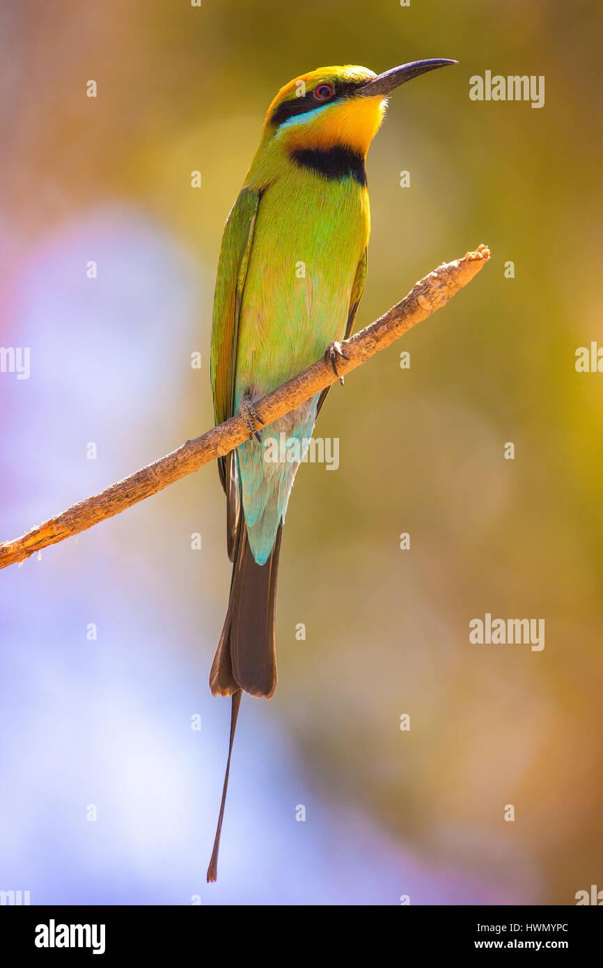 Rainbow Bee-eater (Merops ornatus) - Stock Image