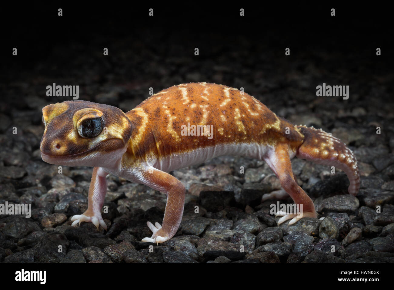 Smooth Knob-tailed Gecko (Nephrurus levis) - Stock Image