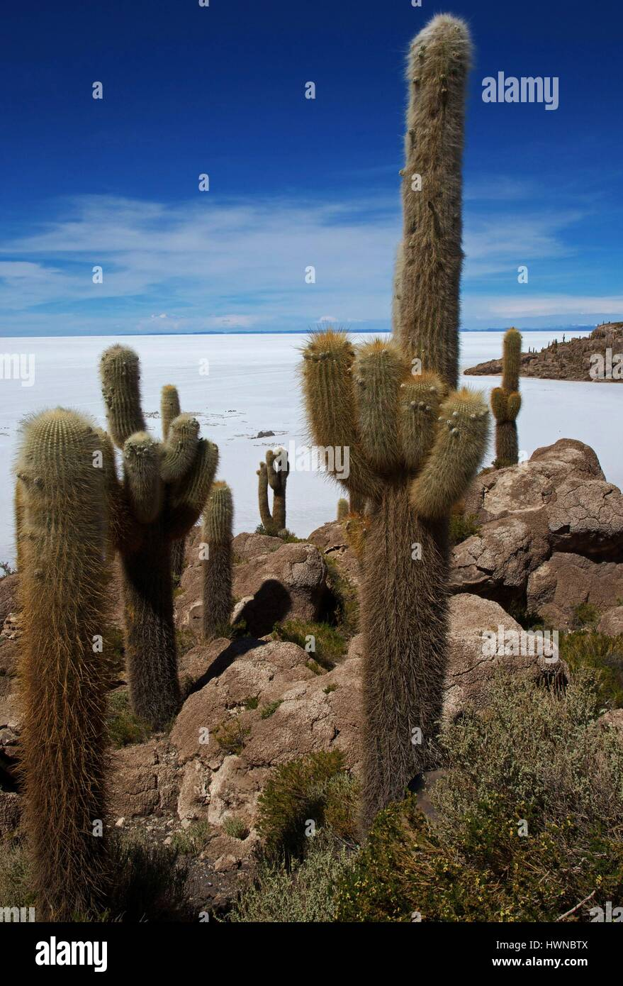 Bolivia, department of Potosi, salar de Uyuni, hill of Incahuasi bristling with giant cactus, in front of the salar - Stock Image